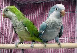 Папуги Квакери від заводчика