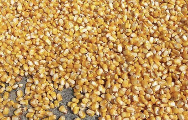Зерно, кукурудза