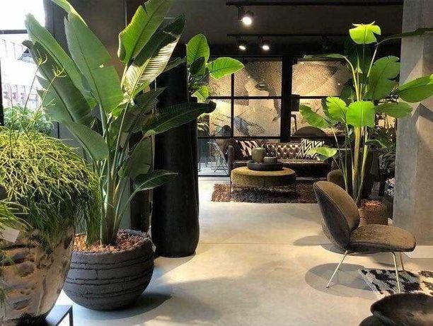 Plantas Strelicia gigante / Ginko biloba