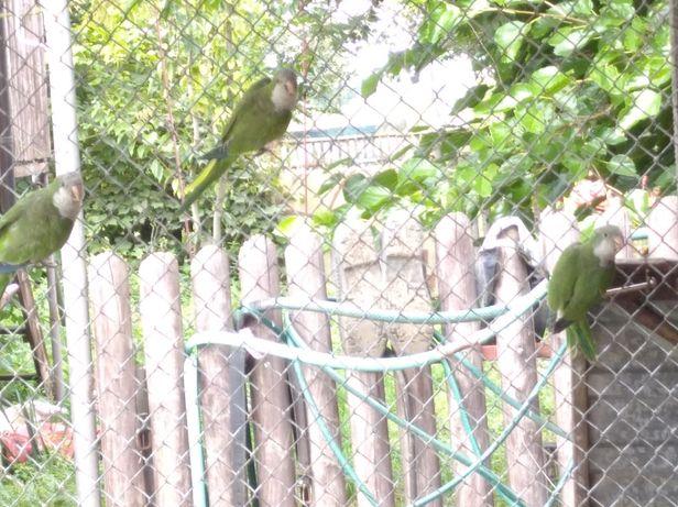 Papuga papugi nimfy faliste aleksandrety para dobrana z 2020