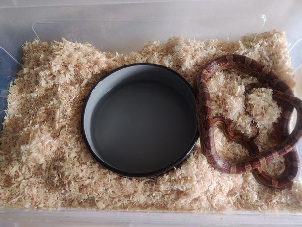 Wąż zbożowy, Corn snake samica