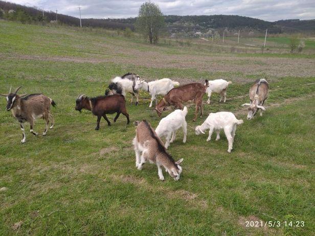 Продаються кози, коза