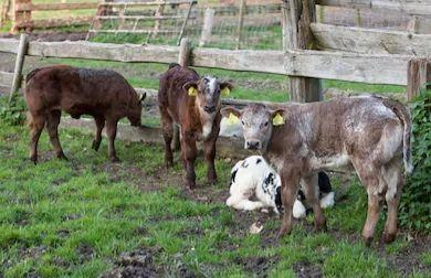 Byczki i jałoweczki mięsne