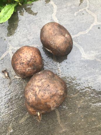Продам картоплю срочно реальному покупцю торг