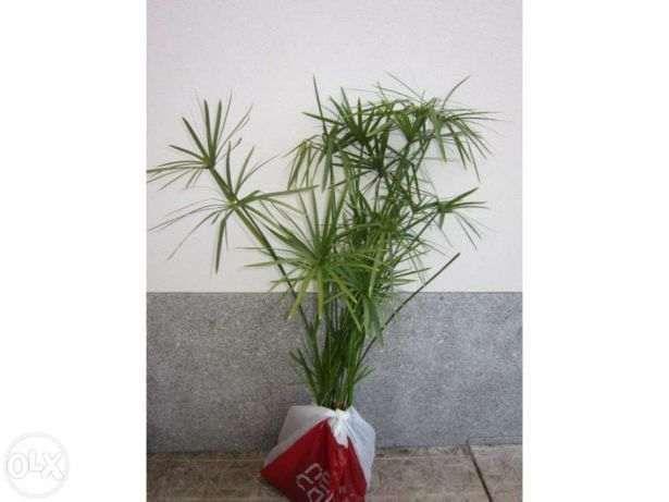 bambu papiro planta natural grande e Aloe arborecens planta medicinal
