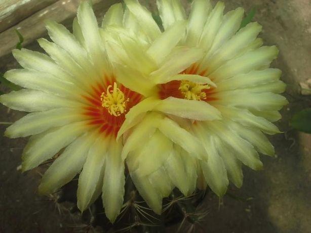 Продам Hamatocactus setispinus