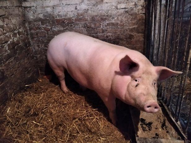 Продам свиней тушкою