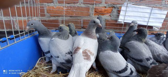Gołębie pocztowe młode po gołębiach rozpłodowych
