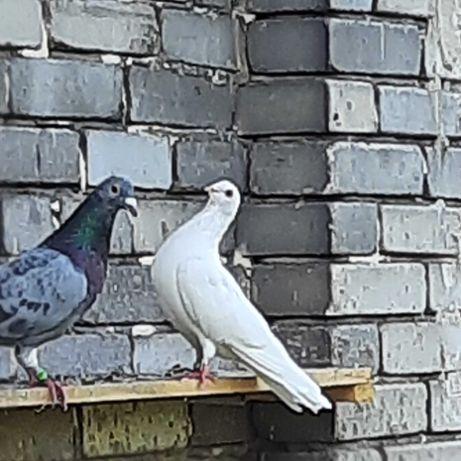 sprzedam gołębie ozdobne