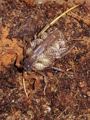 Janalychas tricarinatus L2