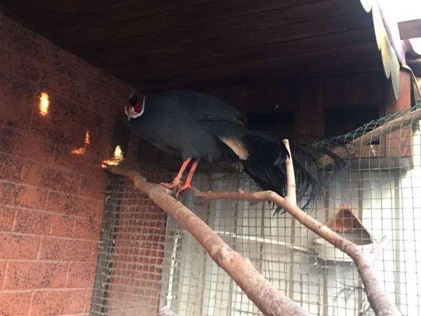 Синій вухатий фазан