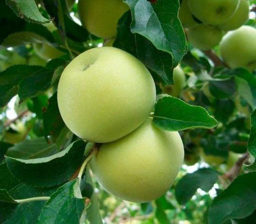 Саджанці (саженцы) яблуні Чемпіон Голден Моді Фуджі. Відправимо НП