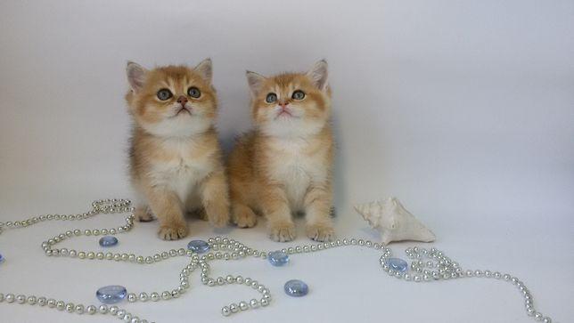 Клубные котята котики и кошечки, есть выбор. Золотая шиншилла тикирове