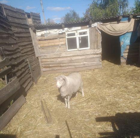 Продам барана и овцу