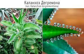 Каланхое детки подрощенные Лечебнное растение 5 ростков