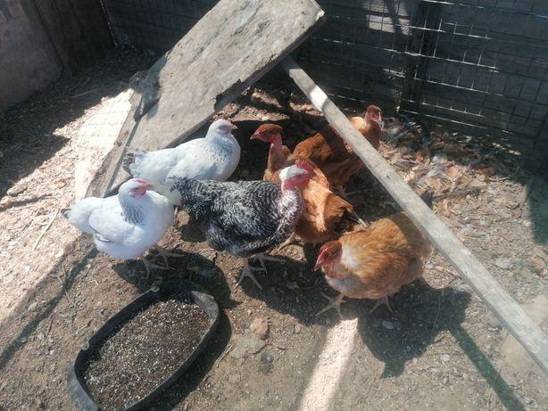 Galos, galinhas, pintos, cocós, garnizes e ovos