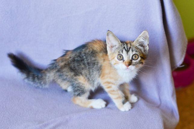 Ласковая кошечка (котенок) Тутся, 2 мес ищет заботливую семью