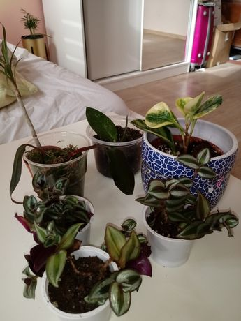 Zestaw sadzonek kwiaty