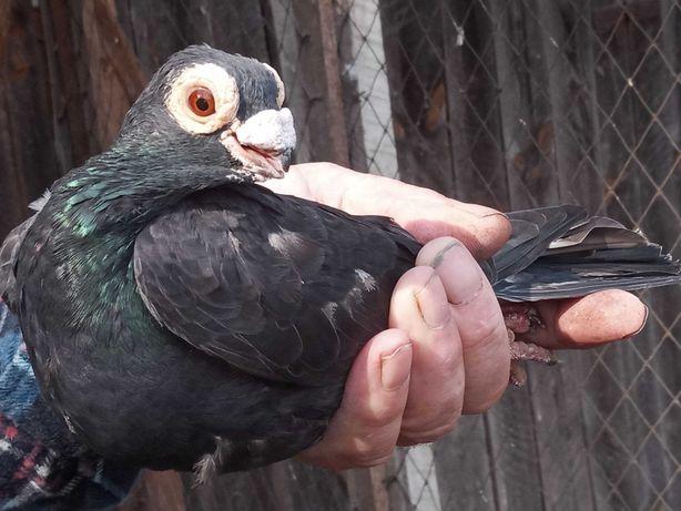 Gołębie ozdobne(kaliery,brodawczaki)