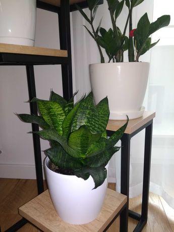 Sansewieria gwinejska kwiat doniczkowy kolekcja