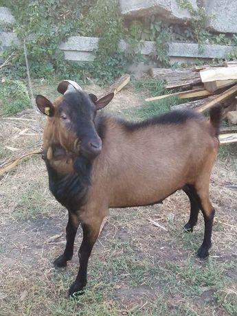 Продам молодых коз,а также вязка козырек с Альпийским козликом