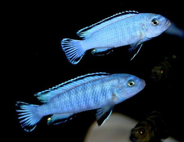 sprzedam młode pyszczaki   Pseudotropheus socolofi  Pyszczak niebieski