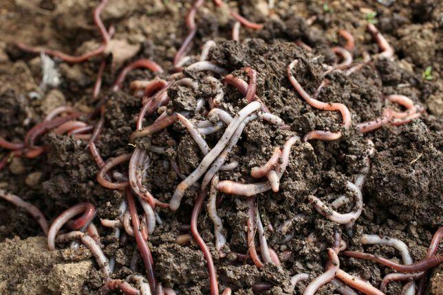 Набор калифорнийских червей, старателя. Пересылка в жару. Консультация