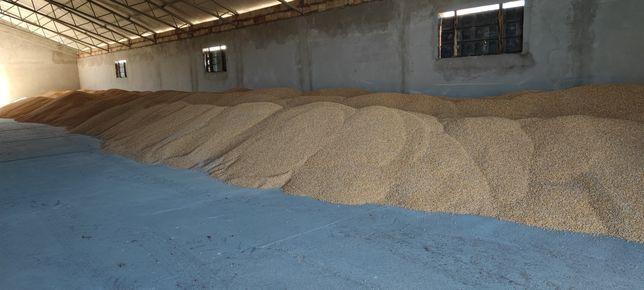 Kukurydza sucha 100 ton