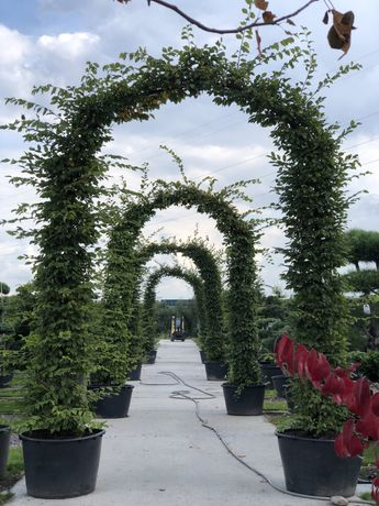 Bonsai brama grab rododendron klon palmowy bluszcz trzmielina