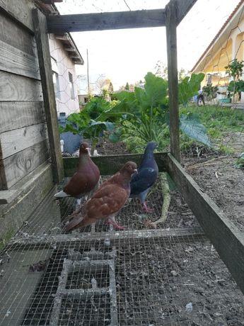 Vendo pombos de raça