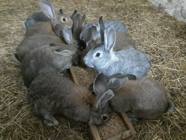 Młode króliki  - krzyżówka ras