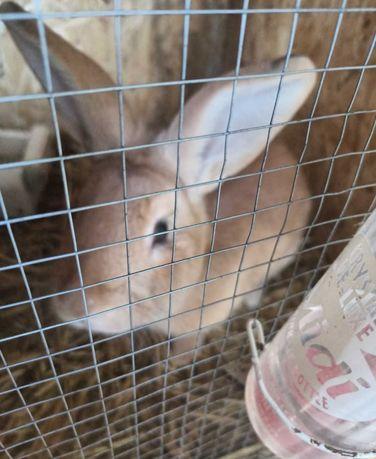 Królik samiec królik Dębica