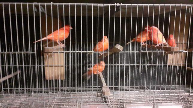 Vendo canarios vermelhos