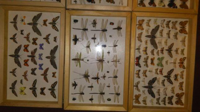 Gablotki motyle owady