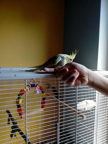 Zaginęła papuga nimfa na Piątkowie w Poznaniu