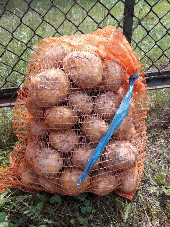 Ziemniaki mlode worki 5 kg i 15 kg Czempiń - image 1