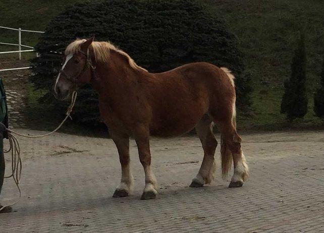 Klacz źrebna polski koń zimnokrwisty