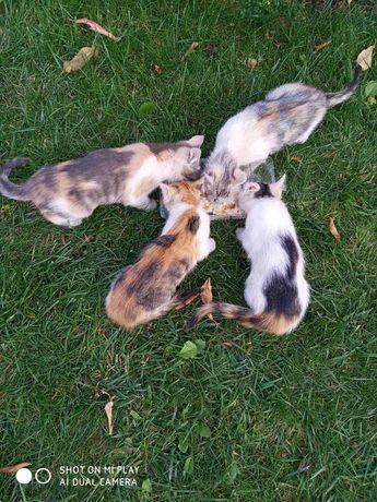 Котята трёхмастные девочки 1,5 месяца. Котенок трехцветный кошка