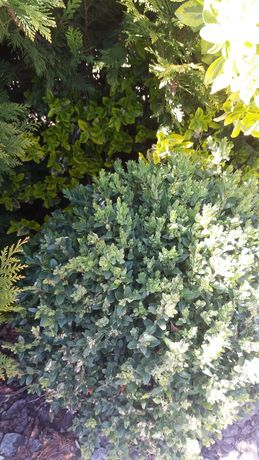 BUKSZPAN krzew ok 50 cm