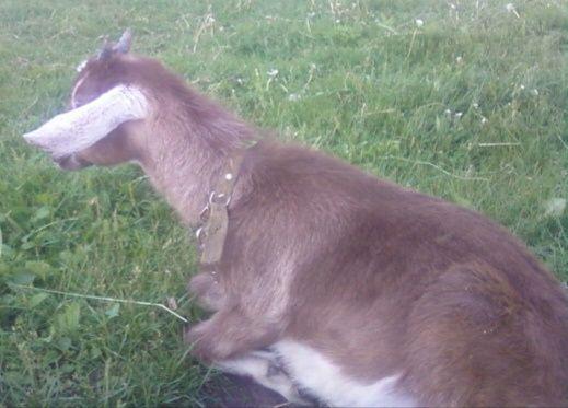Англо-Нубийские % коза 3-4мес выбор есть козочка. И цап Нубиец