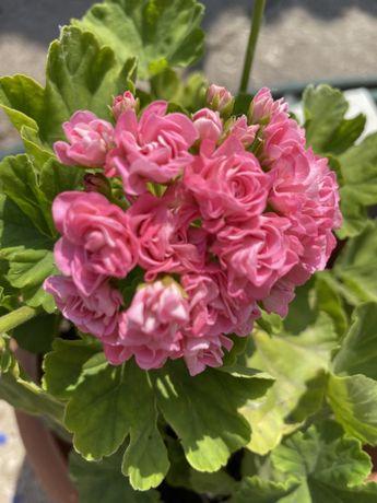 Пеларгонія розобудна Swanland Pink (Australian)