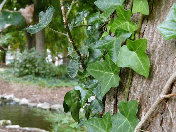Плющ садовый вечнозелёный уличный