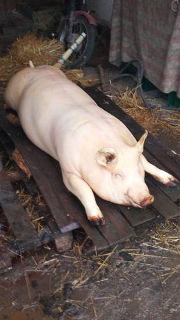 Продаём полутуши свиней-Макстер 304, Дюрок, Петрен, 95грн/кг.