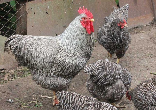 Курчата плімутрок полосатий. Цыплята плимутрок полосатый