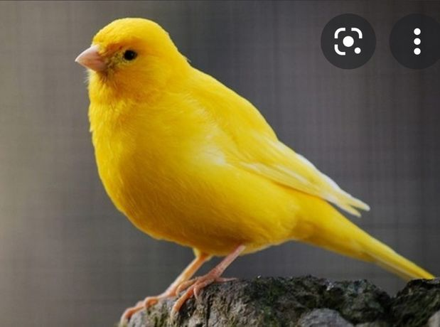 Канарейка самка оранжевый окрас мандаринка, канарейки птицы