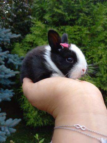 D2 króliczek biało-czarny samiczka min lop TEDDY KARZEŁEK WYPRAWKA