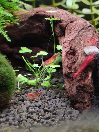 Neocaridina red cherry krewetki akwariowe