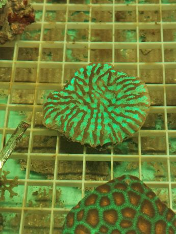 Platygyra koral lps akwarium morskie