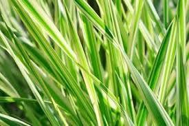 Kupkówka Pospolita, nasiona kupkówki, kupkówka, nasiona traw,