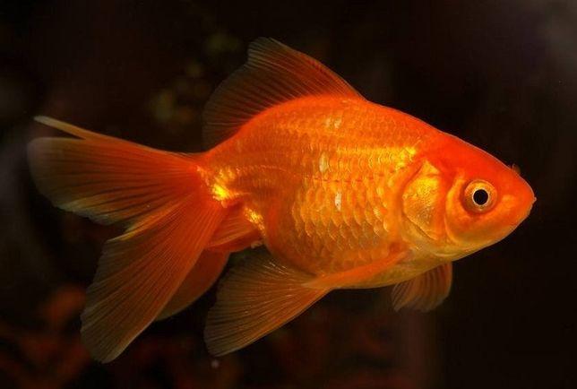 złota rybka welon do akwarium